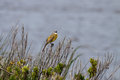 Yellow wagtail singing beautiful portugal Stock Images