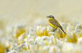Yellow wagtail sitting on tulips the netherlands Stock Image