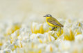 Yellow wagtail sitting on tulips the netherlands Royalty Free Stock Photos