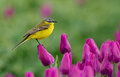 Yellow wagtail sitting on tulips in the netherlands Stock Photo