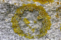 Yellow Wall Lichen, Xanthoria parietina Stock Photography