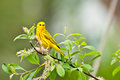 Yellow warbler a beautiful perched in a bush Stock Images