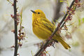 Yellow warbler dendroica petechia aestiva male in breeding plumage Stock Photography