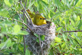 Yellow Warbler In A Nest Stock Photo