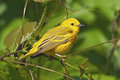 Yellow warbler perched in lush green foliage Royalty Free Stock Images