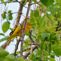 Yellow warbler perched on a tree branch with green leaves in the springtime Stock Images