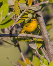 A yellow warbler the setophaga petechia stays during the whole year in cuba but extending it s range to north and south america Stock Images