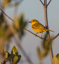 A yellow warbler the setophaga petechia stays during the whole year in cuba but extending it s range to north and south america Stock Photos