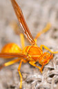 Yellow wasp Stock Photography