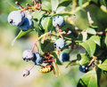Yellow wasp tasted ripe blackberries seasonal natural theme Stock Photos