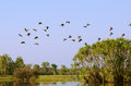 Yellow water billabong kakadu australia flock of plumed whistling ducks flying in the distance Stock Images