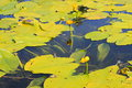Yellow water flowers ( Nuphar Lutea ) Royalty Free Stock Photo