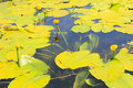 Yellow water flowers (Nuphar Lutea) Royalty Free Stock Photo