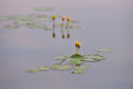 Yellow water lilies in the wild some natural environment at sunrise Stock Image