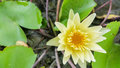 Yellow water lilly in garden Royalty Free Stock Photo