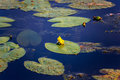 Yellow water lilly with large green leaves in summer swamp Royalty Free Stock Photo