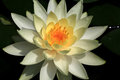 Yellow Water Lily Flower, macro. Royalty Free Stock Photo