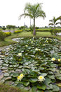 Yellow water lily pond with palm trees. Royalty Free Stock Images