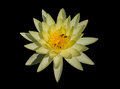 Yellow waterlilly on black background Stock Image