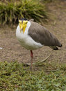 Yellow wattled lapwing image of a standing on one leg vanellus malabaricus Stock Photo