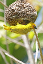 Yellow weaver bird building a nest Royalty Free Stock Photography