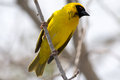 Yellow Weaver bird in a tree Royalty Free Stock Photo