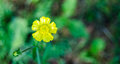 Yellow Weed flower.   Buttercup, close up in sunlit morning field.. Royalty Free Stock Photo
