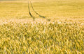 Yellow wheat Royalty Free Stock Photography