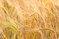 Yellow wheat ears close up in field Stock Photo