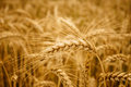 Yellow wheat ears field background in summer day Royalty Free Stock Image