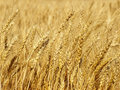 Yellow wheat ears on field taken closeup background suitable as Royalty Free Stock Photo