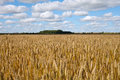 Yellow wheat field. Royalty Free Stock Photo
