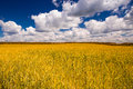 Yellow wheat field and blue sky with clouds Royalty Free Stock Photo