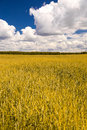 Yellow wheat field and blue sky with clouds Stock Image