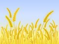 Yellow Wheat Field with Light Blue Sky Stock Images