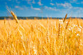 Yellow wheat field under blue sky Stock Images
