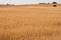 Yellow wheat fields holms oaks on spain Stock Photography