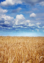 Yellow wheat at harvesting time Royalty Free Stock Photo