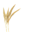 Yellow wheat on wooden background top view, Dried stems meadow