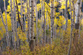 Yellow and white Aspens in Autumn Royalty Free Stock Image