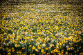 Yellow and White Daffodils in a Field Royalty Free Stock Photo