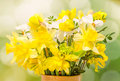 Yellow and white daffodils (narcissus) flowers, close up, green gradient background Royalty Free Stock Photo
