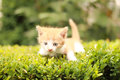 Yellow and white kitten Royalty Free Stock Photo