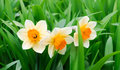 Yellow and white narcissuses in a garden Stock Photography