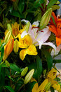 Yellow, white and orange lilies Royalty Free Stock Photo