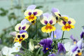 Yellow and white pansies large flowered hybrid plants cultivated as garden flowers Royalty Free Stock Photos