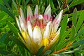 Yellow, white and pink Protea wildflower Royalty Free Stock Photo