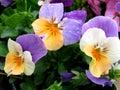 Yellow-White Purple Pansy bush Royalty Free Stock Photo
