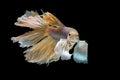 https---www.dreamstime.com-stock-photo-yellow-siamese-fighting-fish-halfmoon-betta-fish-isolated-bla-black-background-image66818635
