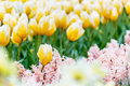 Yellow and white striped tulips flower bed with hyacinth foreground in the park Royalty Free Stock Photo